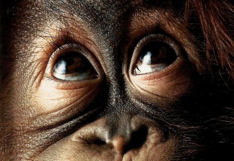 Видео, на котором запечатлена реакция орангутана на фокус покоряет сеть