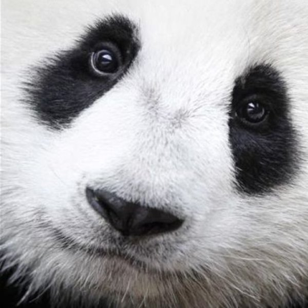 природа, биология, животные, эволюция, Тайна века: почему панды чёрно-белые?